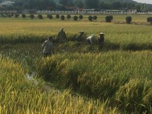rice 3 - harvesting (1)