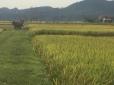 rice 3 - harvesting