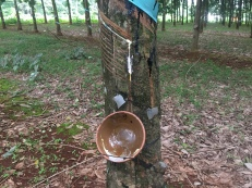 rubber trees 3